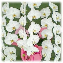 やない洋蘭園の白大輪胡蝶蘭の特産品画像