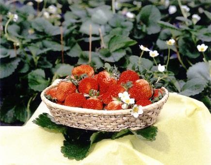 球磨産 イチゴの特産品画像